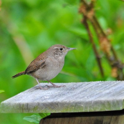 Male House Wren on nest box. Photo by Jerry Acton