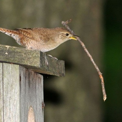House Wren with stick for nest-building. Photo by Jerry Acton