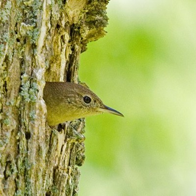 House Wren exiting nest in tree. Photo by Jerry Acton