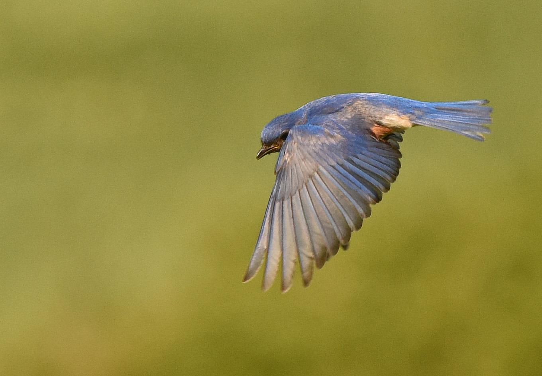 Denise Hackert-Stoner - Naturelogues - Peeking Bluebird