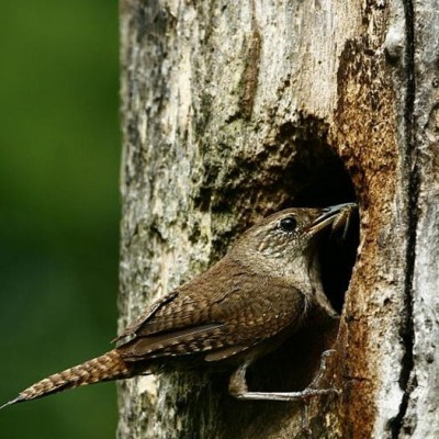 House Wren bring meal to nestlings. Photo by Douglas Domedion