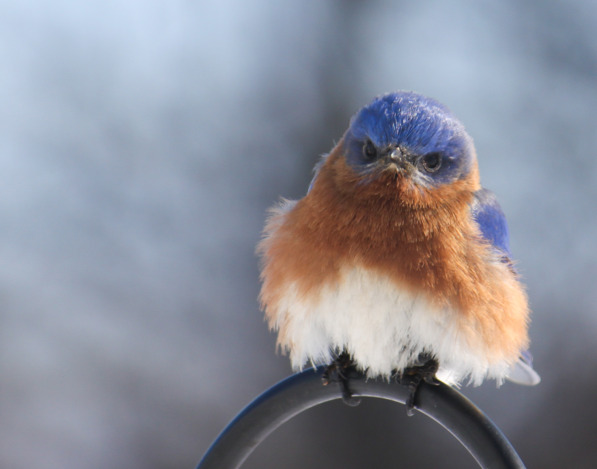 Eastern Bluebird 2014 02 14