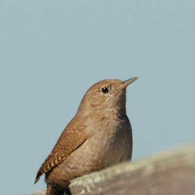 House Wren. Photo by Tom Grey