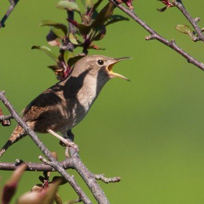 Male House Wren singing. Photo by Jerry Acton