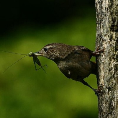 House Wren with a meal. Photo by Douglas Domedion