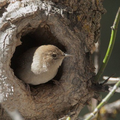 House Wren leaving nest in natural cavity. Photo by Tom Grey