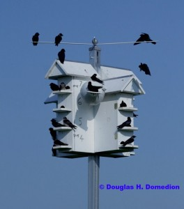 Purple Martin Colony - Photo by Douglas Domedian
