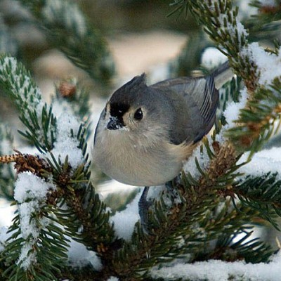 Tufted Titmouse. Photo by Jerry Acton