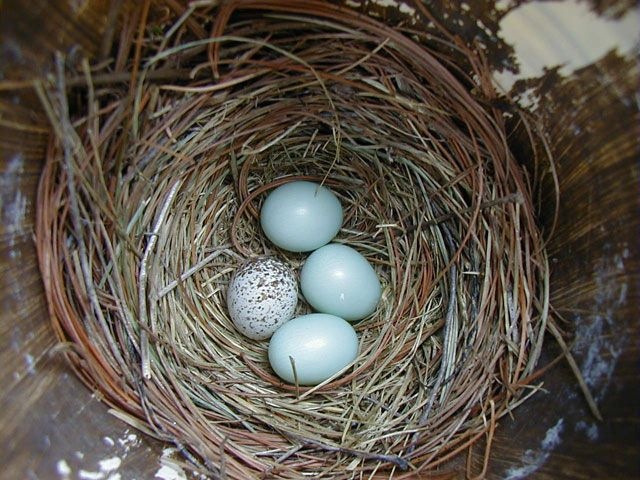 BarbaraBurnham-Cowbird egg in Bluebird nest