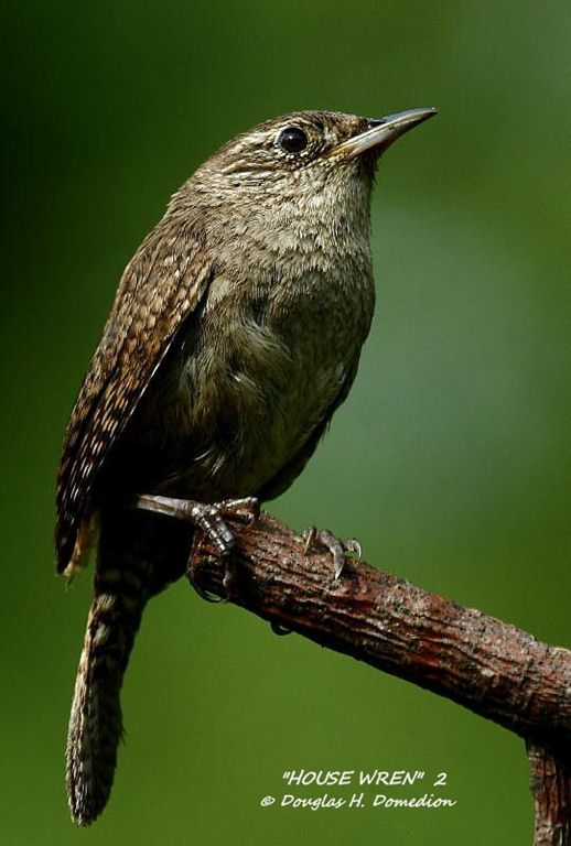 Domedion-House Wren  2