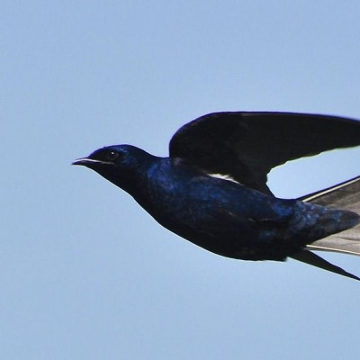 Purple Martin in flight. Photo by Jeffrey W. (*See notes)