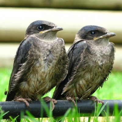Purple Martin fledglings. Photo by OakleyOriginals (*See notes)