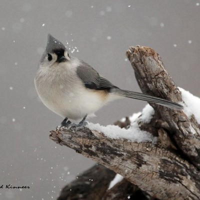 Tufted Titmouse. Photo by Dave Kinneer