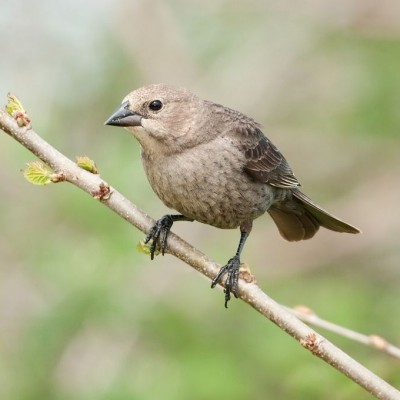Female Brown-headed Cowbird. Photo by Kelly Colgan Azar (See note*)