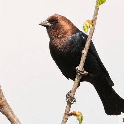 Male Brown-headed Cowbird, Photo by Kelly Colgan Azar. (See Note*)