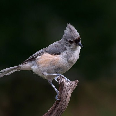 Tufted Titmouse. Photo by Kenn Kilgore