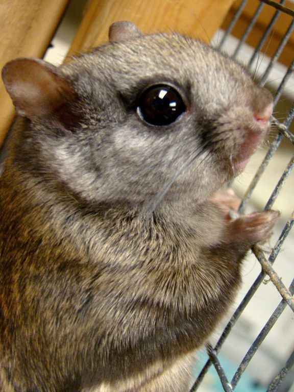 Leah-Northern Flying squirrel (2)