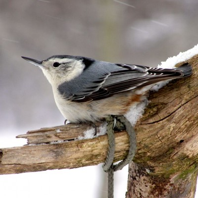 White-breasted Nuthatch. Photo by Cherie Layton