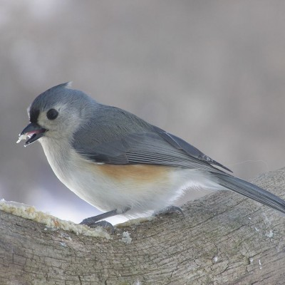 Tufted Titmouse. Photo by Cherie Layton