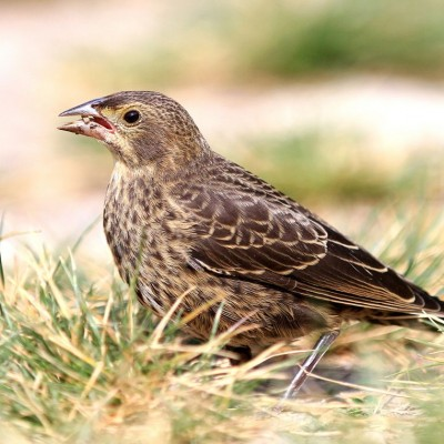 Cowbird juvenile. Photo by Victor* (see note)