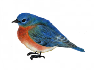 Cobleskill, Schoharie County Bluebird Program @ SUNY Cobleskill, Main Campus | Cobleskill | New York | United States