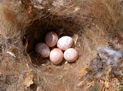 Bet Z. Smith - titmouse_nest_with_eggs
