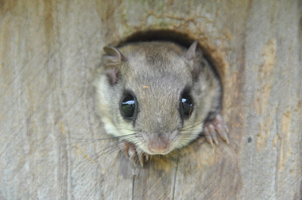 Kridler-Southern Flying squirrel3