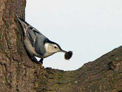White-breasted Nuthatch. Photo by J. Derry